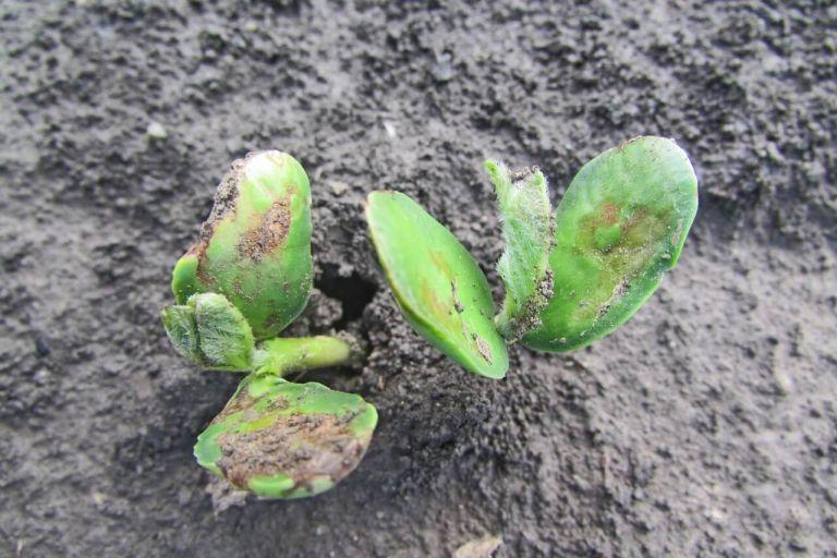 Итог фитопатологической экспертизы семян зерновых и сои в Амурской области 2020 года