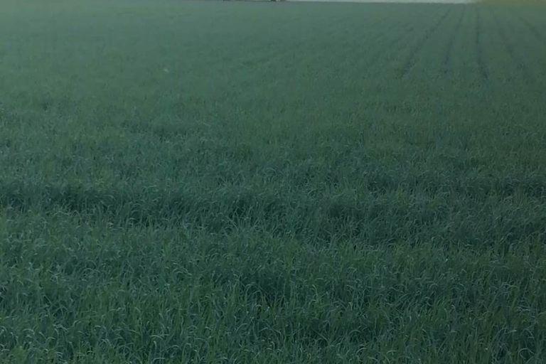 В Омской области превышен порог вредоносности по пшеничному трипсу