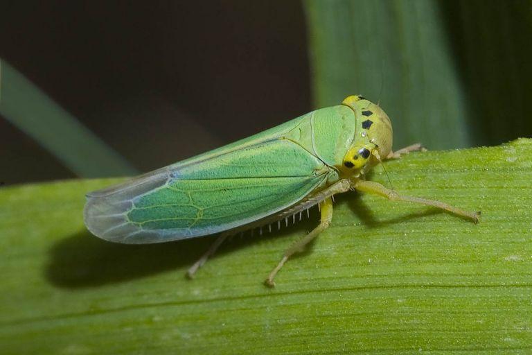 Цикадки - опасные переносчики вирусных заболеваний озимой пшеницы.