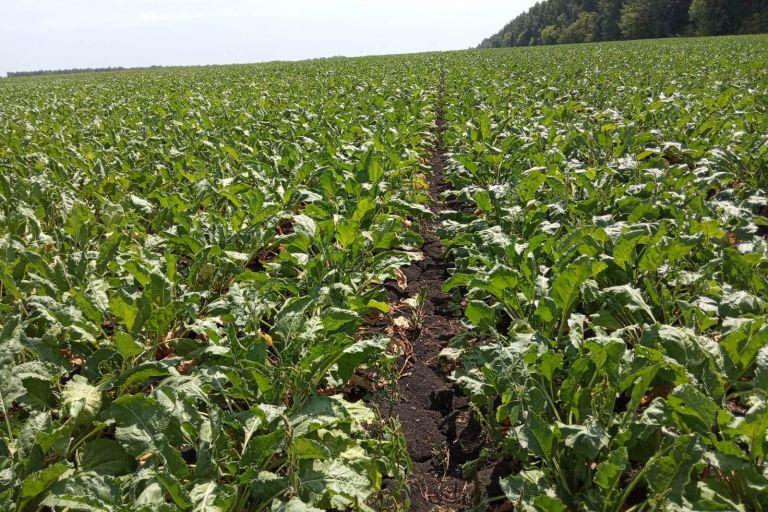 Фунгицидная защита посевов сахарной свёклы