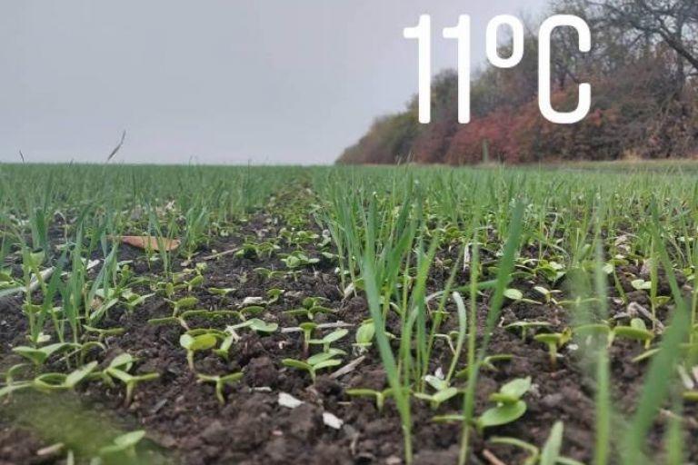 Актуальная ситуация на посевах озимых зерновых в Краснодарском крае.