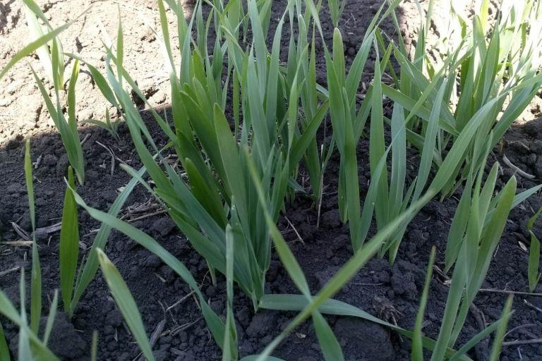 Эффективность инсектицидных протравителей семян в системе защиты зерновых культур