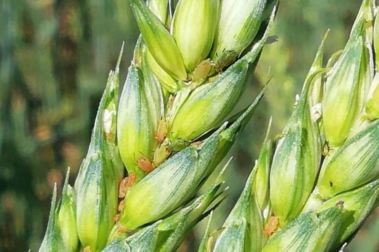 Вредители зерновых злаков