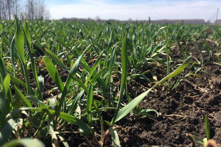 Состояние озимой пшеницы в Сибири