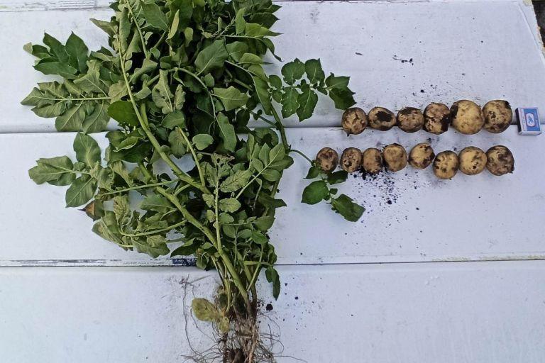 Ранний сорт картофеля Коломбо