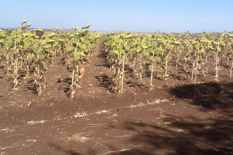 Демонстрация посевов сельскохозяйственных культур с применением средств защиты растений ООО ТД КЧХК