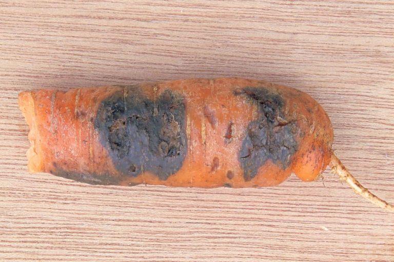 Черная гниль овощных зонтичных культур