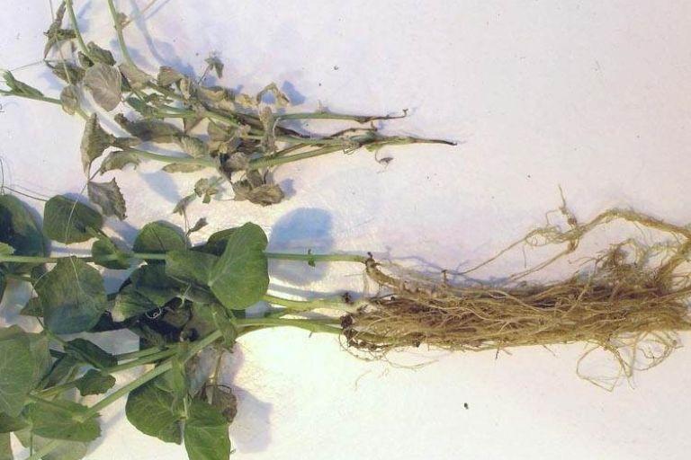 Афаномицетная корневая гниль гороха