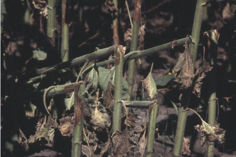 Серая пятнистость стеблей подсолнечника