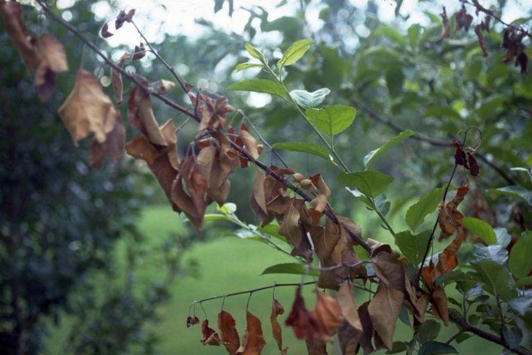 Ожог плодовых деревьев