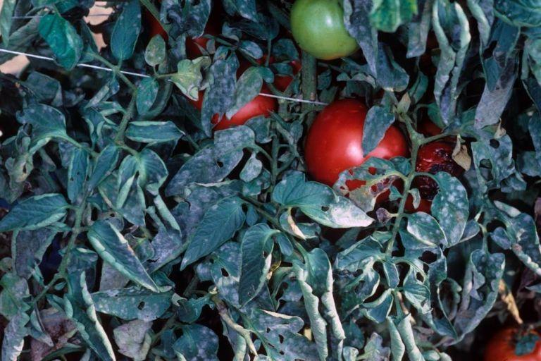 Мучнистая роса томатов