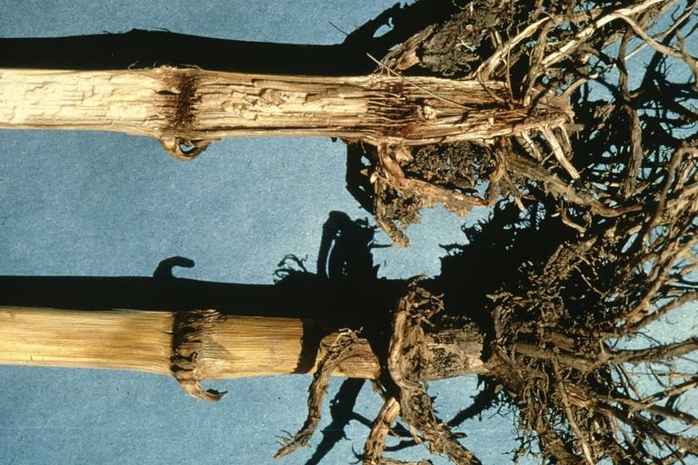 Стеблевая гниль кукурузы