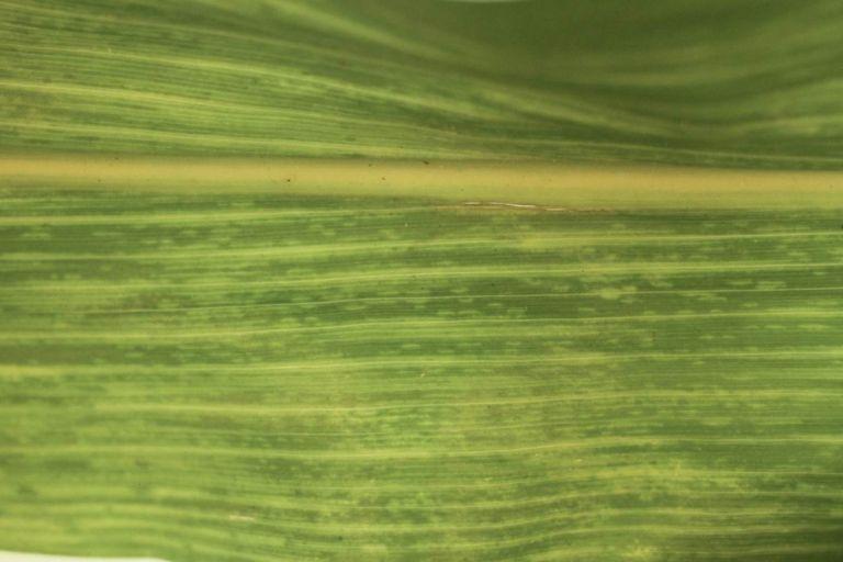 Вирус карликовой мозаики кукурузы (ВКМК)