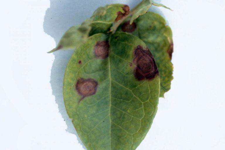 Филлостиктоз плодовых культур