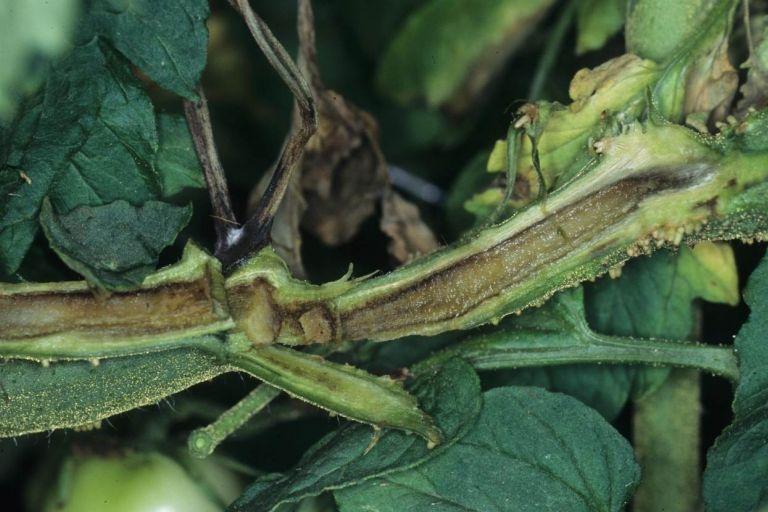 Сердцевинный некроз стеблей томата
