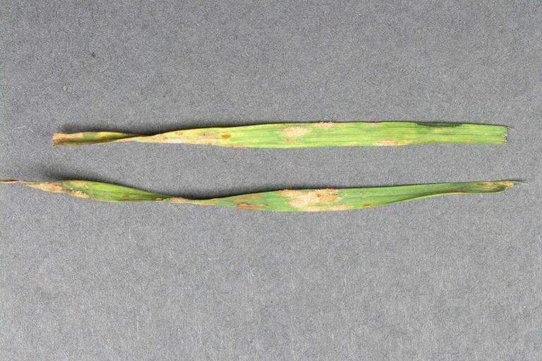 Бурая листовая ржавчина ржи