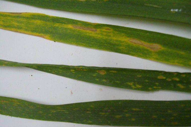 Желтая пятнистость пшеницы