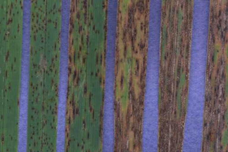 Желто-бурая пятнистость (сколекотрихоз) овса
