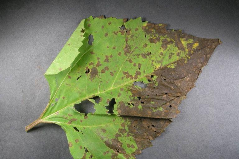 Септориозная пятнистость листьев подсолнечника