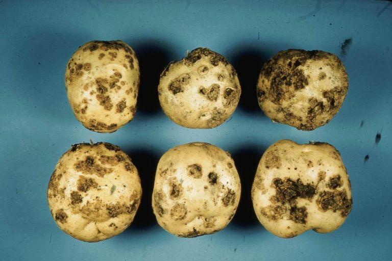 Парша обыкновенная картофеля