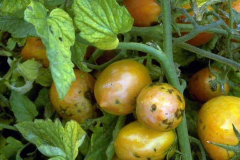 Вирус пятнистого увядания томата