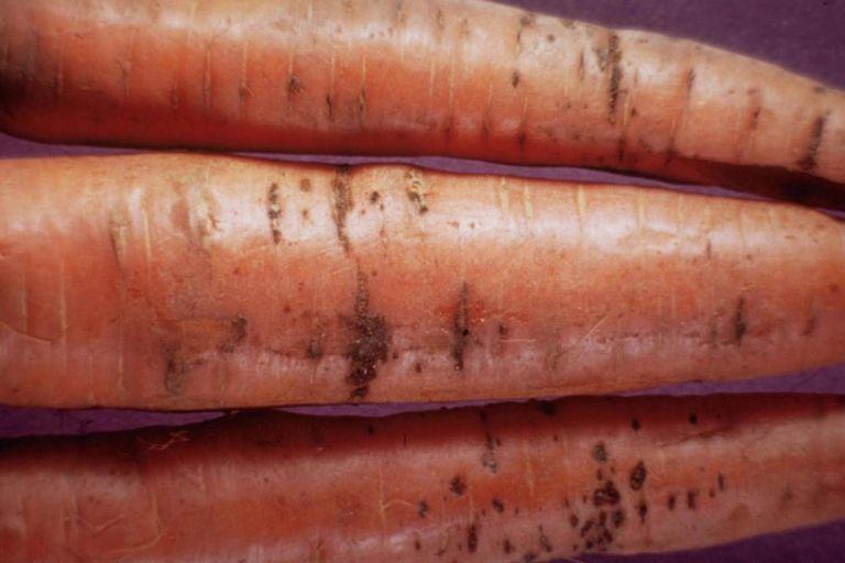 Бактериальный ожог моркови