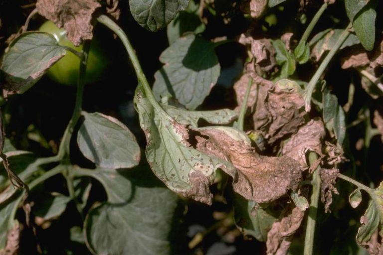 Черная бактериальная пятнистость томата