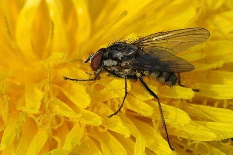 Капустная весенняя муха