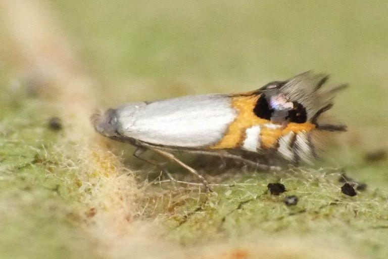 Кружковая моль-минер