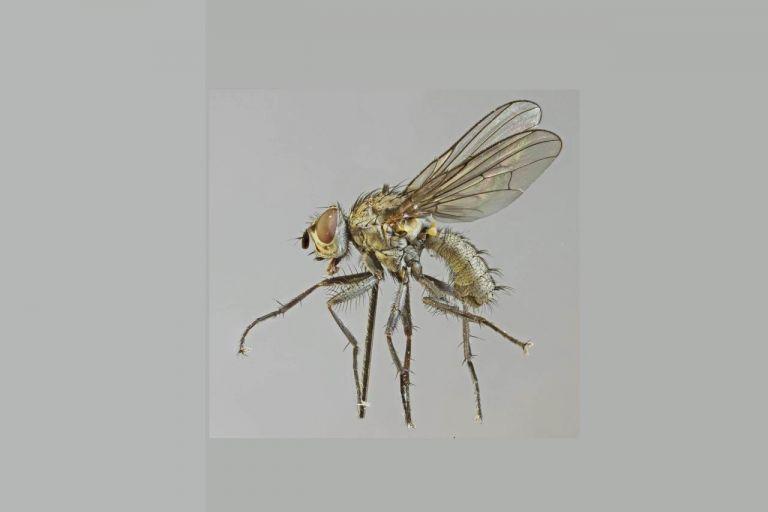 Западная свекловичная муха