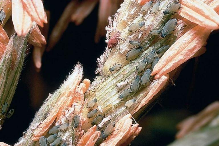 Кукурузная тля