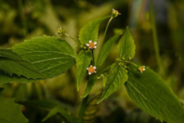 Галинсога мелкоцветковая