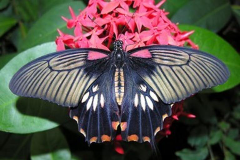 Бабочки марафонщицы