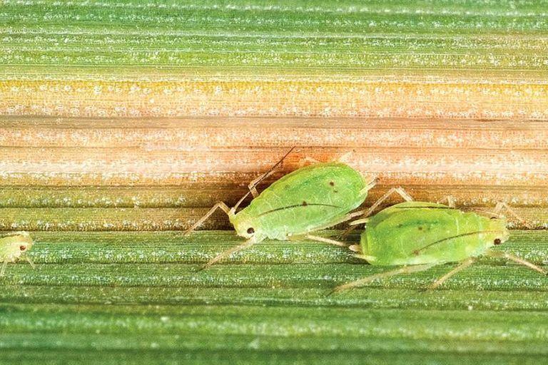 Ячменную тлю поручено уничтожить осам-паразитоидам