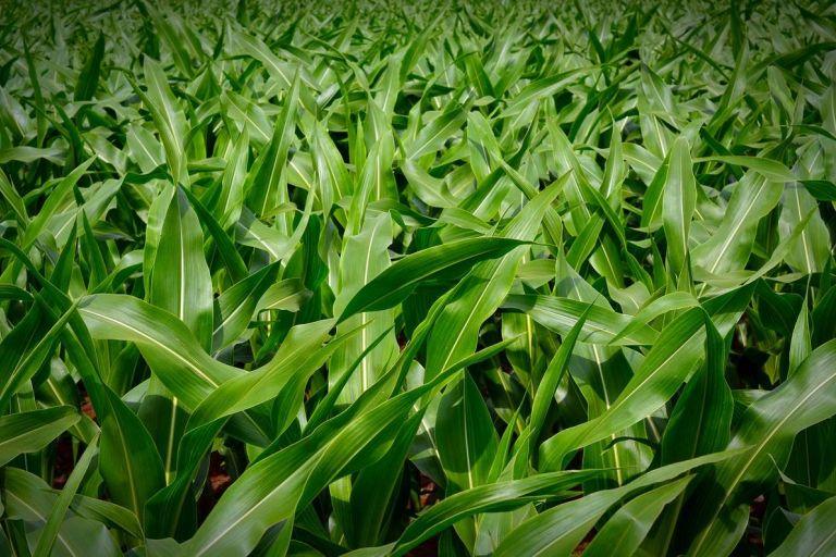 Кукуруза и соя способны определить наличие сорняков