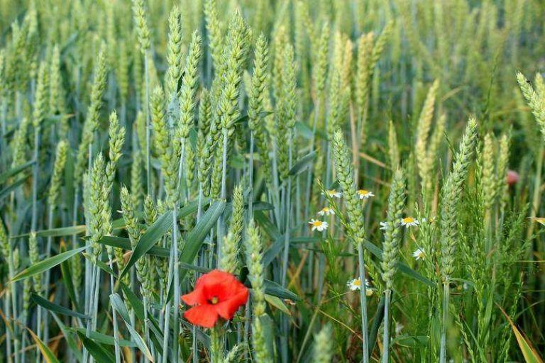 Какие сорняки преследуют важные сельскохозяйственные культуры
