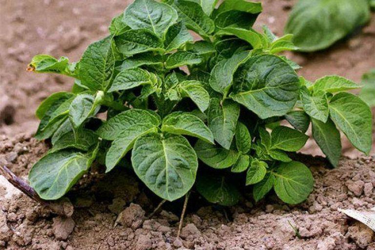 Новое средство защиты картофеля от фитофторы