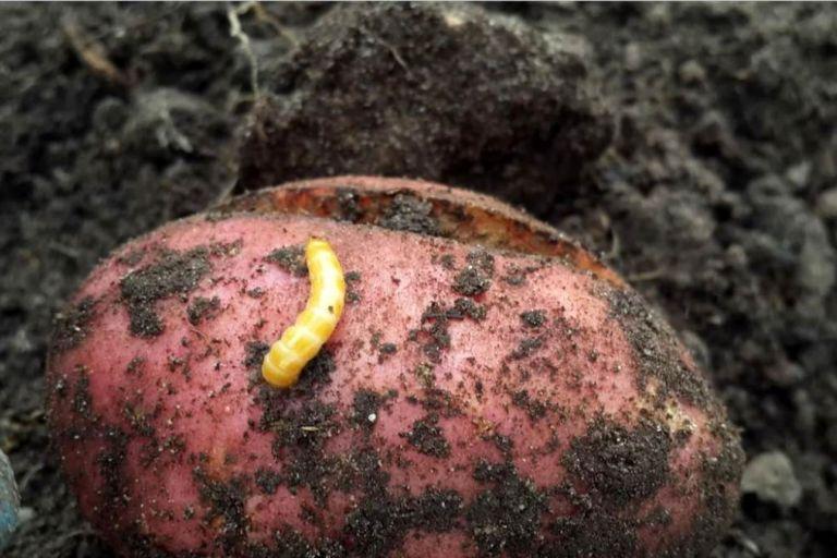 Проволочник на картофеле – 3 совета от экспертов