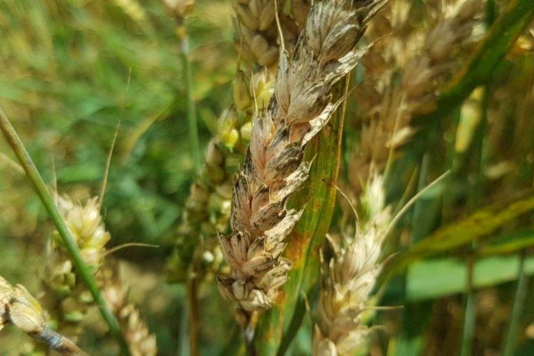Контроль фузариоза на пшенице после кукурузы
