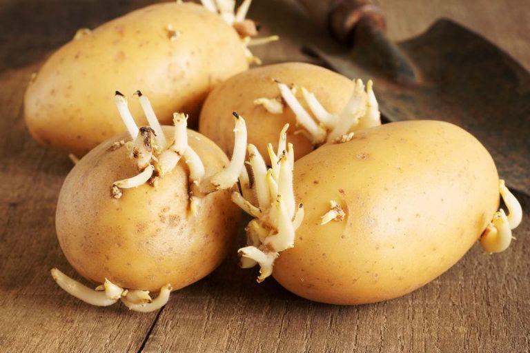 Как хранить картофель, чтобы он не прорастал