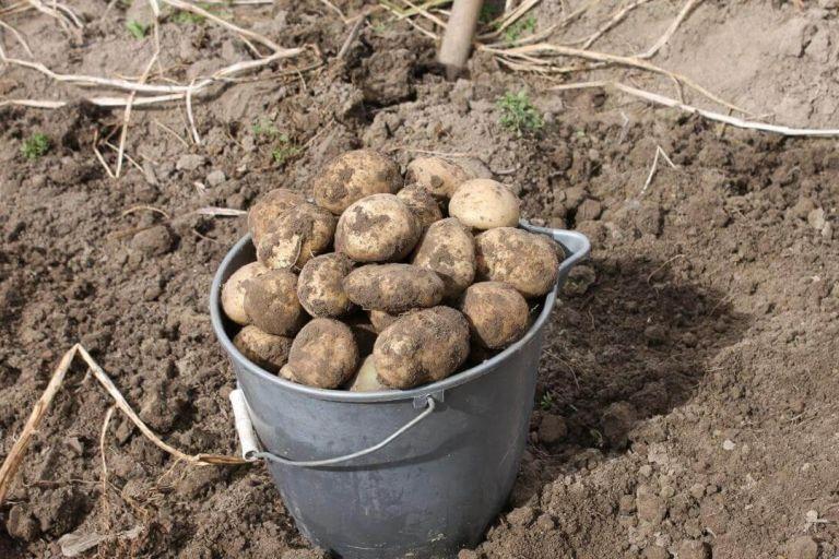 Способы восстановления земляного субстрата после длительного выращивания картофеля