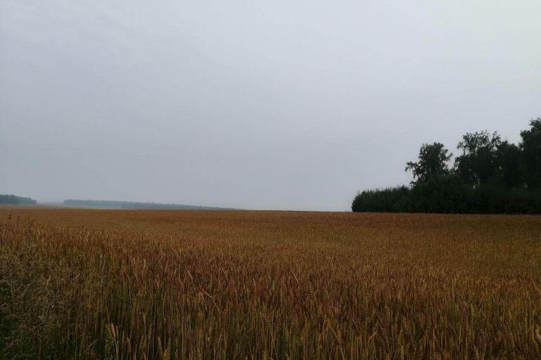 Применение Тайгер 100, КЭ на яровой пшенице